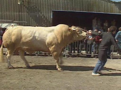 Empreintes landaises la foire bovine de saint vincent de for Papeterie saint vincent de tyrosse